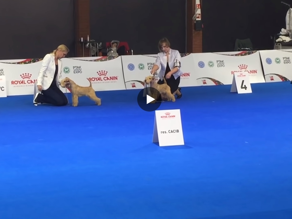Euro Dog Show 2018 Lakeland Terrier