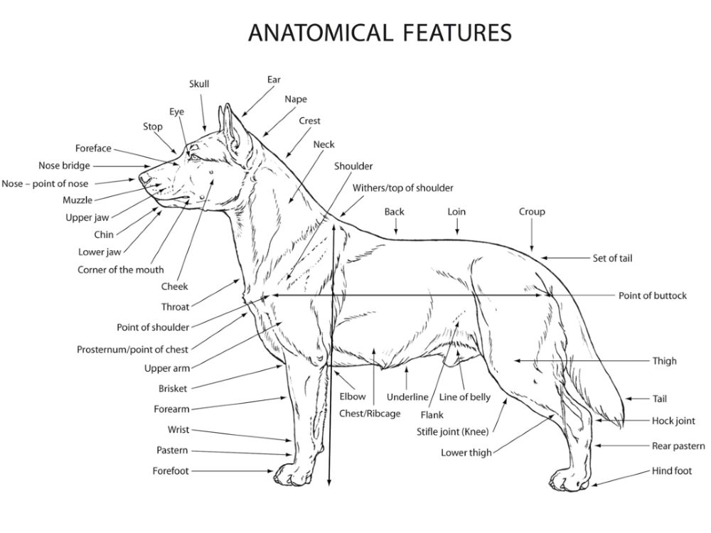 anatomical features